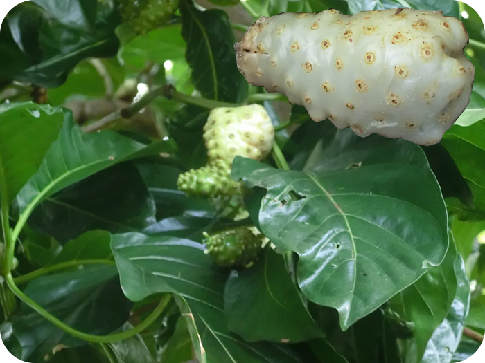 The use of Noni (international), Nuòlì (Chinese)… Morinda Citrifolia
